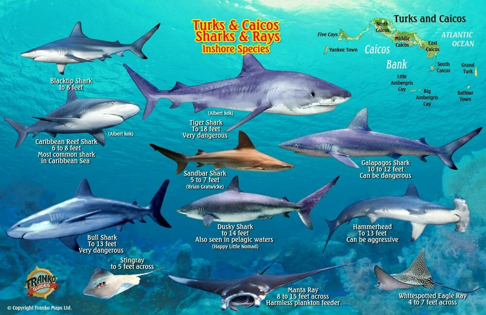Turks caicos sharks rays laminated fish card by franko for Turks and caicos fishing