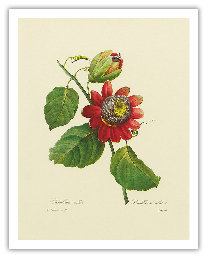 Passion flower lilikoi botanical fruit hawaii vintage art for Botanic fleurs artificielles