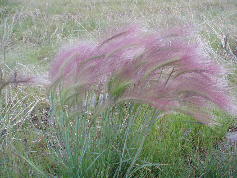 Squirrel tail grass pink ornamental 60 seeds groco ebay for Pink decorative grasses