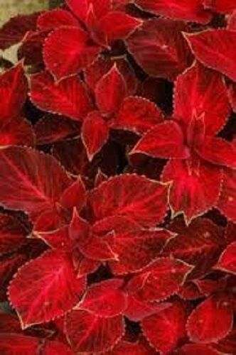 50 Coleus Wizard Velvet Red Flower Seeds Shade Loving