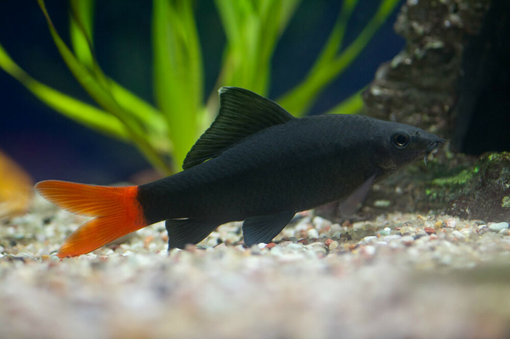2x BLACK SHARK RUBY RED TAIL Epalzeorhynchos bicolor LIVE ...