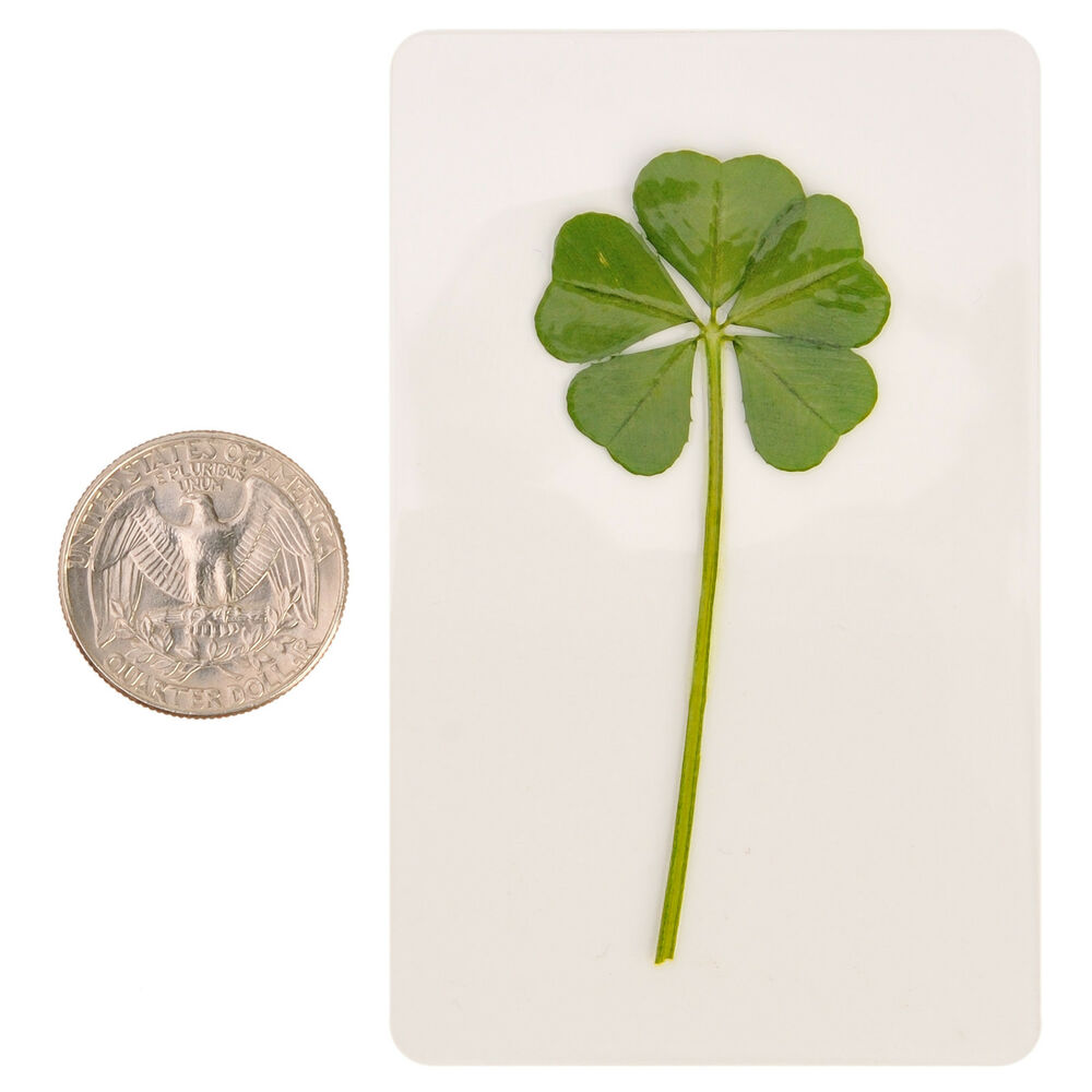rare 5 five four leaf clover irish good luck charms lucky amulet