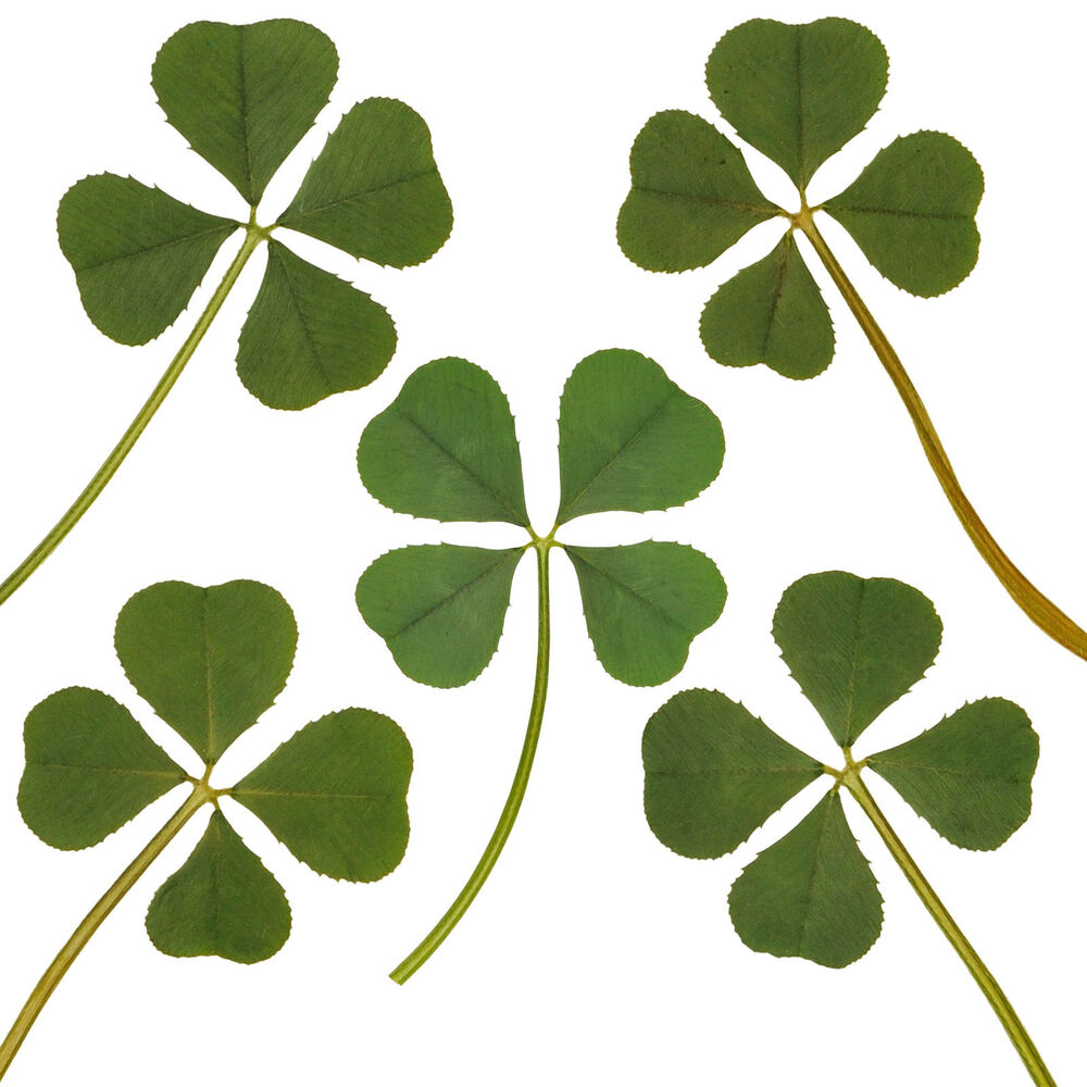 Wholesale 5pc Real 4 Four Leaf Clover Irish Good Luck