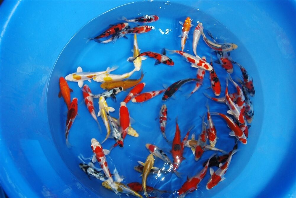 3x assorted mix colour koi carp 5 6 live coldwater pond for Live koi fish for sale
