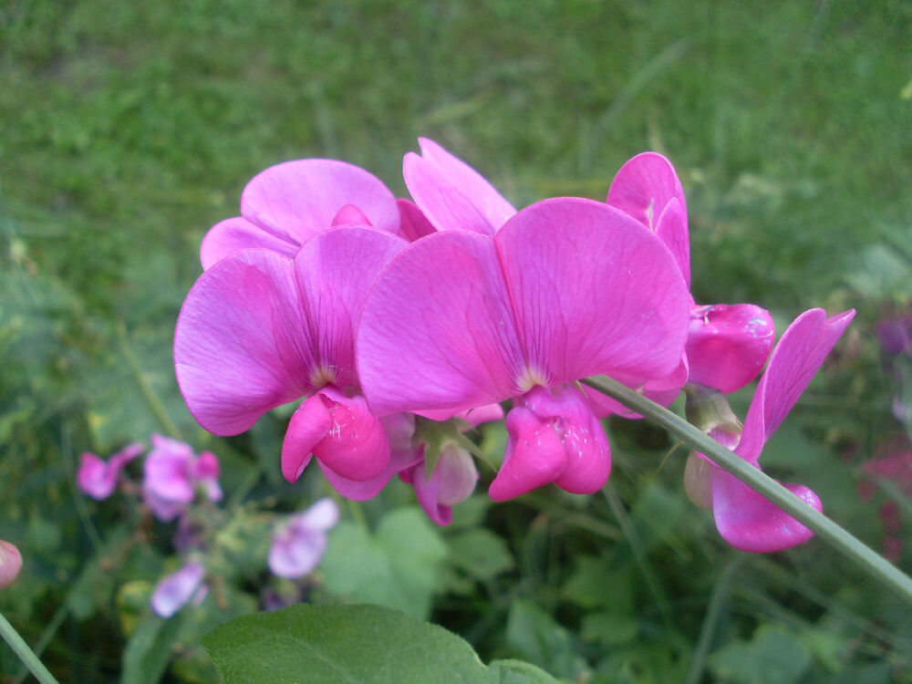 sweet pea, EVERLASTING PERENNIAL FLOWER pink white MIX 25 ...