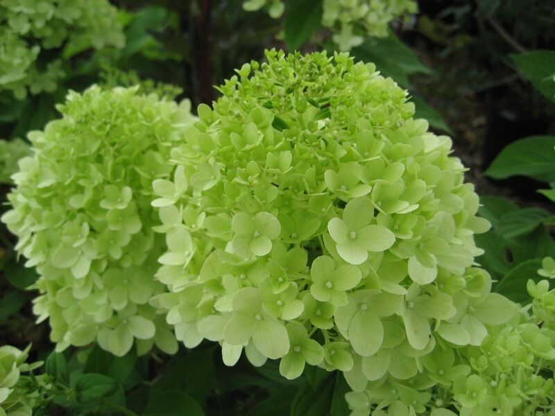hydrangea paniculata limelight lime green to cream white flowerheads ebay. Black Bedroom Furniture Sets. Home Design Ideas