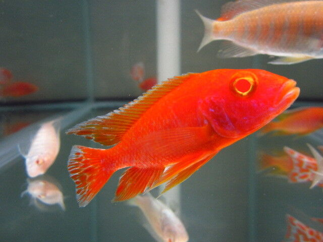 how to make parrot fish red