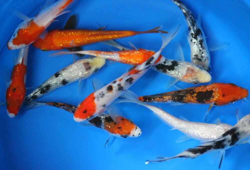 10 pack of 3 inch standard fin koi live for fish tank koi for Koi fish aquarium