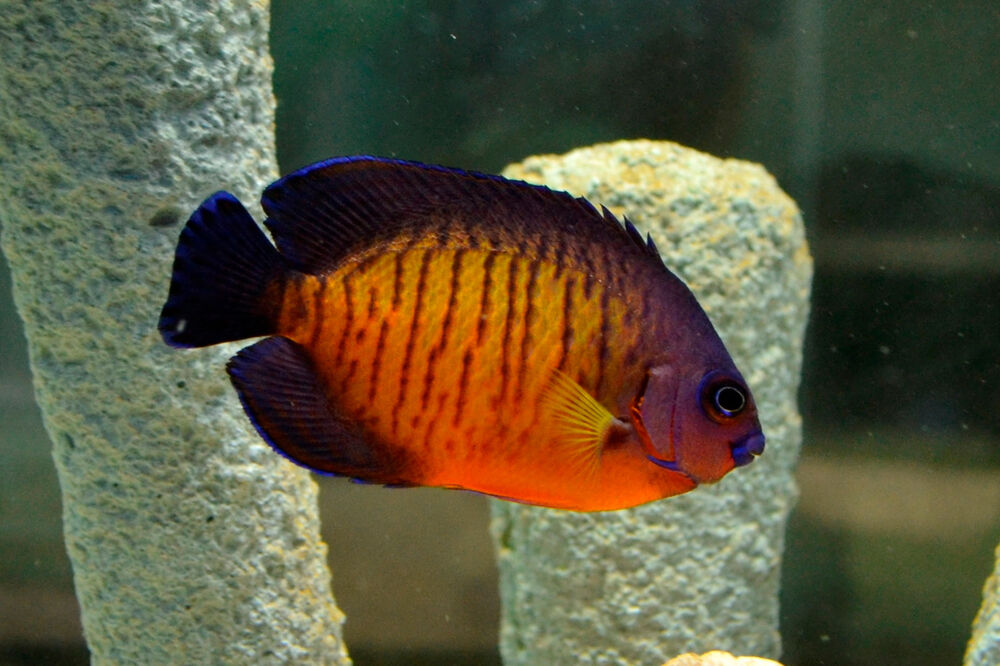 live colorful hardy saltwater fish 3 coral beauty