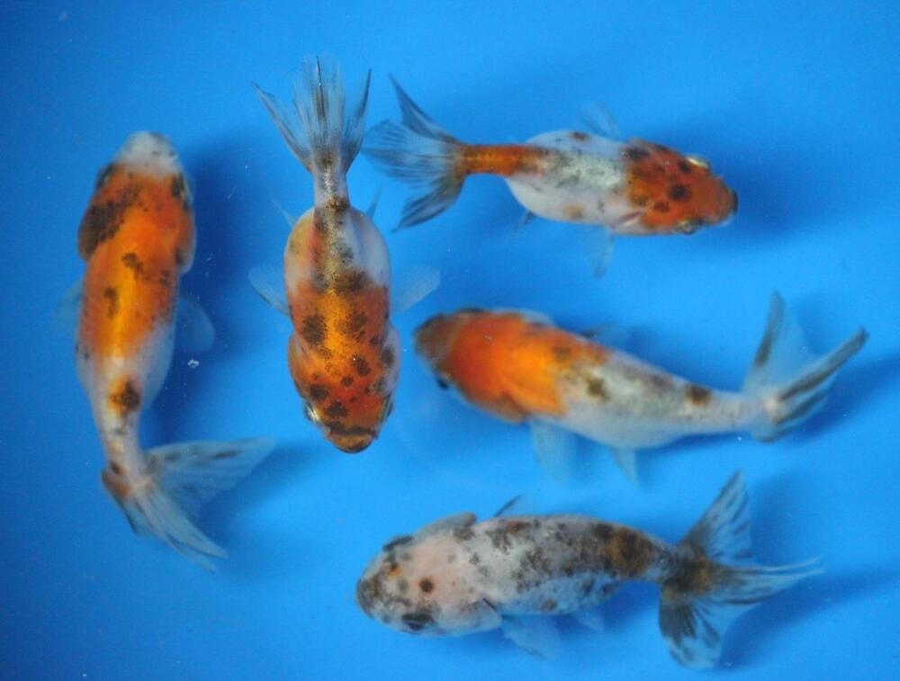 Live calico ranchu goldfish sm for fish tank koi pond or for Goldfisch und koi