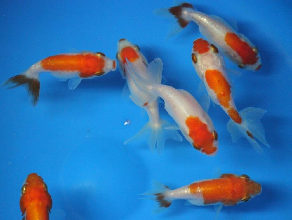 Live red white ranchu goldfish sm for fish tank koi for Fish tank for goldfish