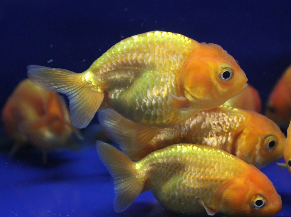 Live red ranchu goldfish sm for fish tank koi pond or for What fish can live with goldfish