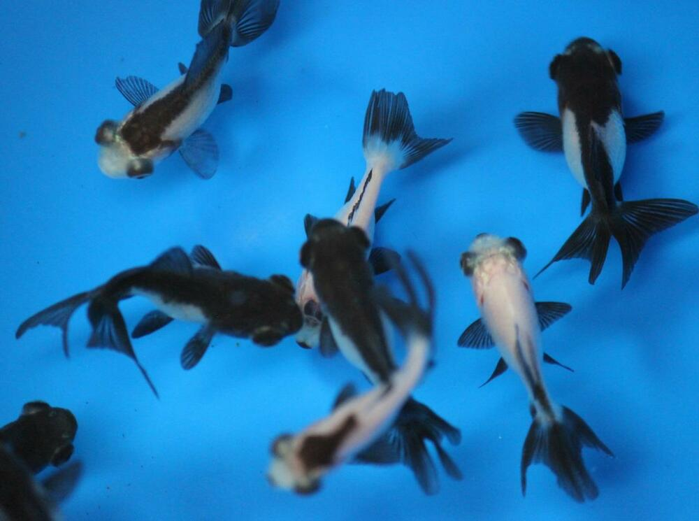 Live panda telescope goldfish sm for fish tank koi pond for Koi fish tank