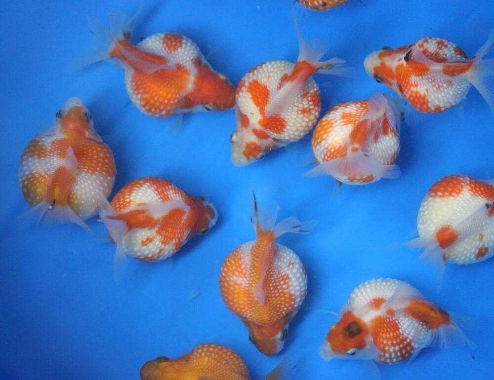 Live pearlscale goldfish sm for fish tank koi pond or for Koi und goldfisch