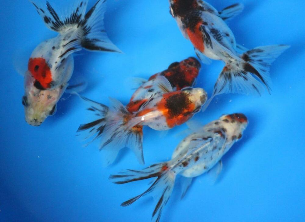 Live calico ryukin goldfish sm for fish tank koi pond or for Purchase koi fish