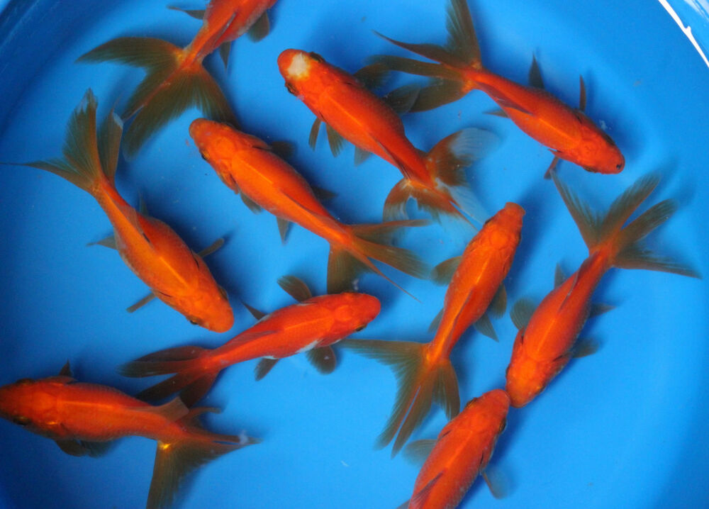 2 3 inch live red fantail goldfish for fish tank koi pond for Fish tank for goldfish