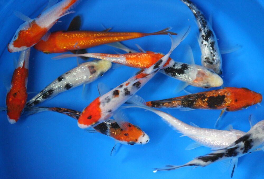50 pack of 2 5 inch koi live fish tank koi pond aquarium for Koi tank size
