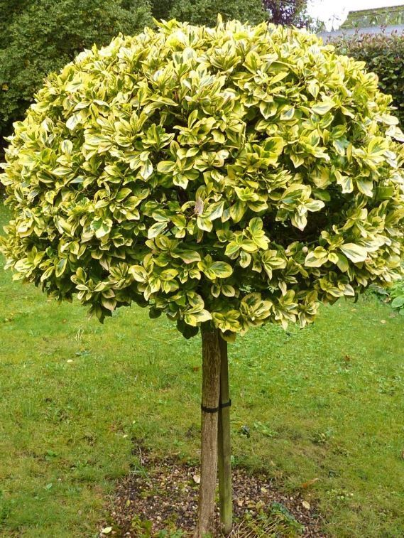 euonymus fortunei 39 emerald gold 39 tree 100 cm tall seedling potted ebay. Black Bedroom Furniture Sets. Home Design Ideas