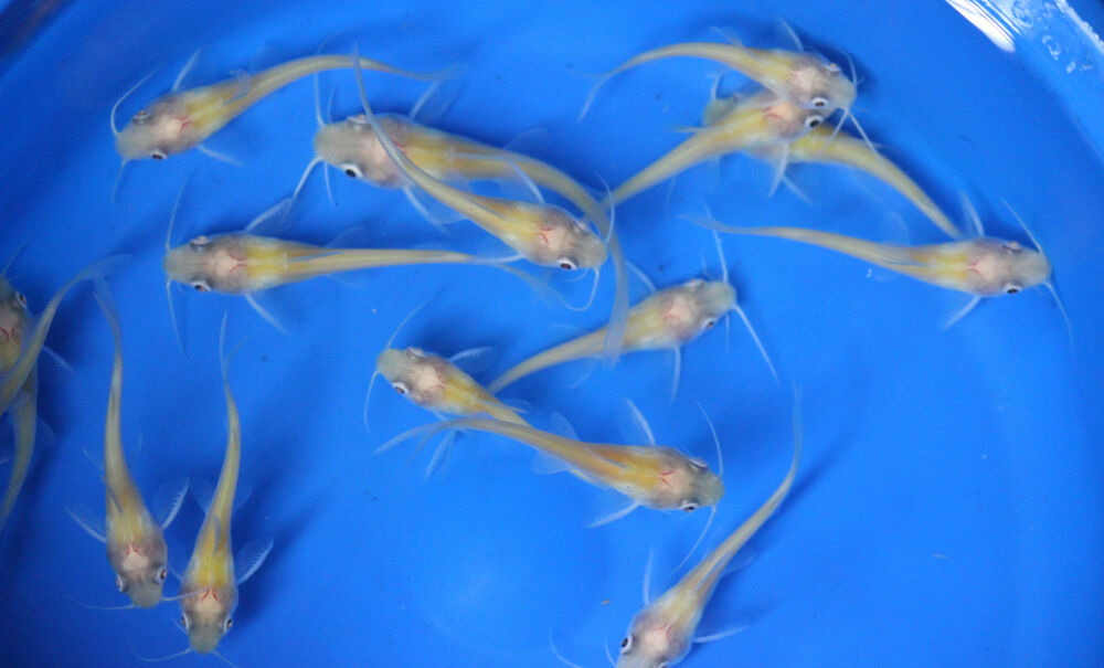 Live albino channel catfish small for fish tank koi pond for Mini koi fish