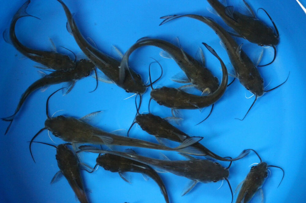 Live blue channel catfish for fish tank koi pond or for Carpe koi aquarium 300 litres