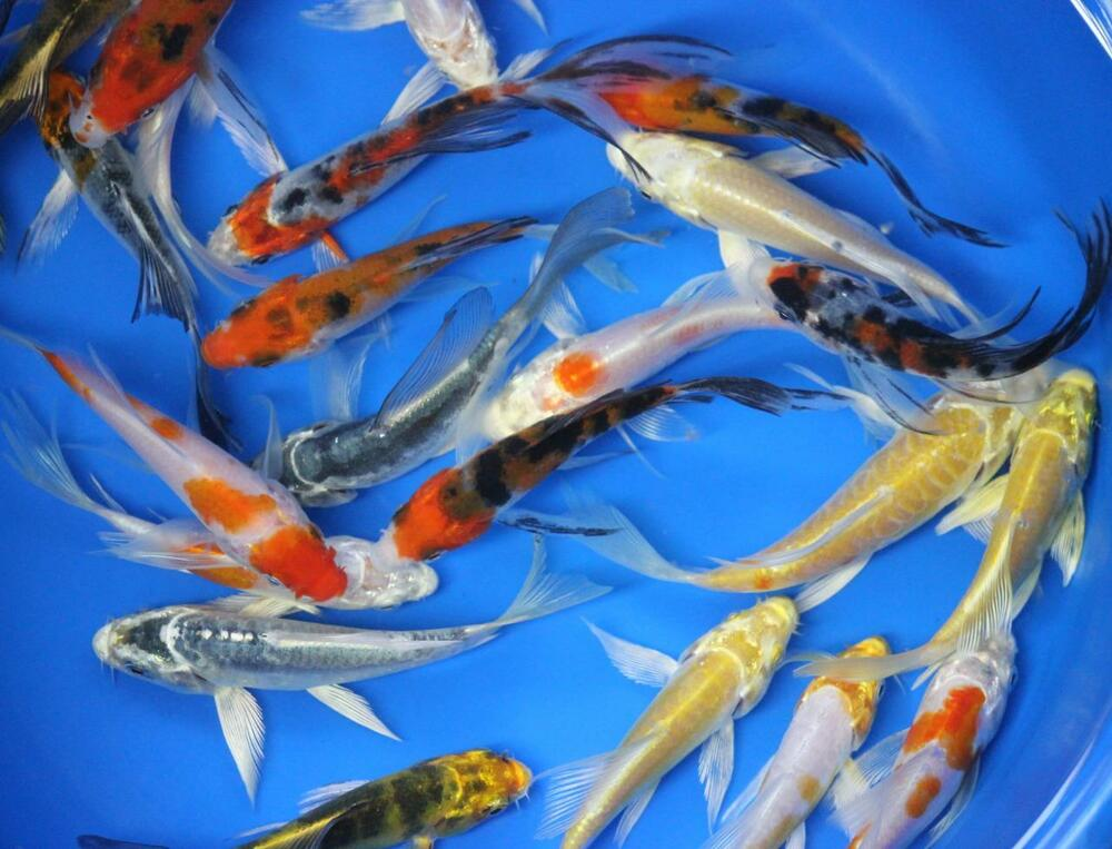 5 pack of 6 inch butterfly koi live fish tank koi pond for Koi fish living conditions
