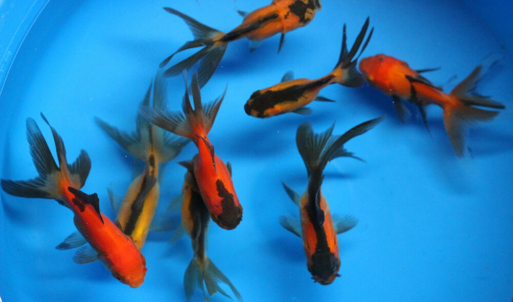 Live Red Black Oranda Goldfish sm. for fish tank, koi pond ...