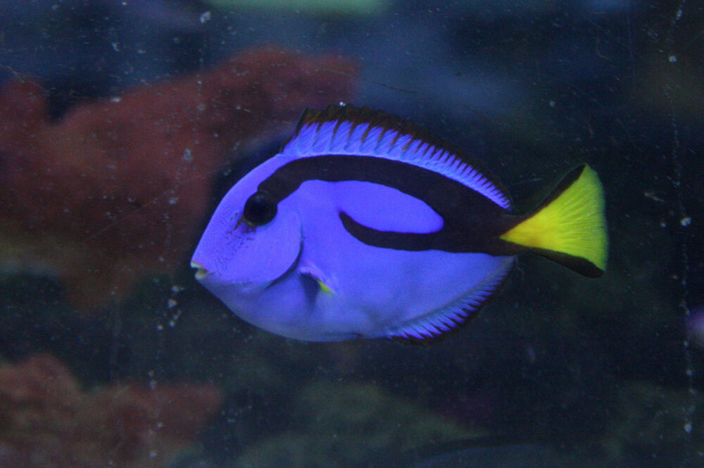 Live colorful saltwater fish 2 blue hippo tang finding for Live saltwater fish
