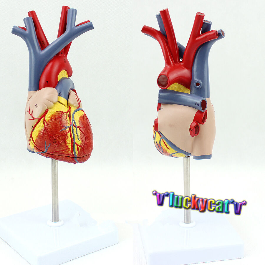 New Human Heart Anatomy Model in 2 part with Removable Stand ...