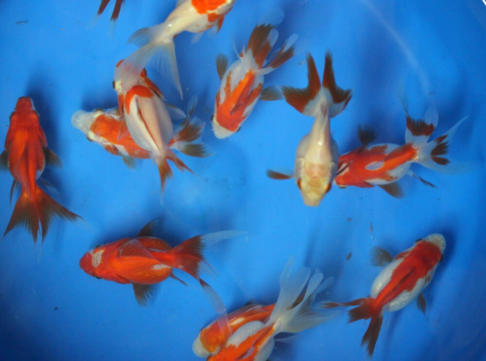 Live red and white ryukins sm goldfish for fish tank koi for Red and white koi fish