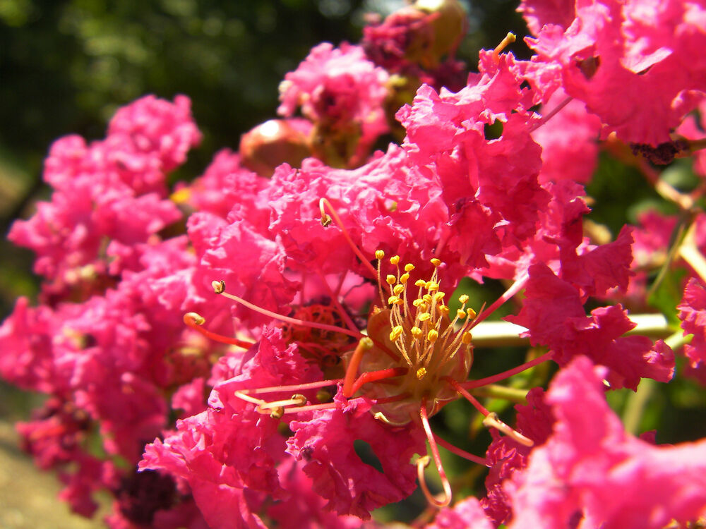 200 seeds  mixed colors crepe myrtle crape tree shrub lagerstroemia flower
