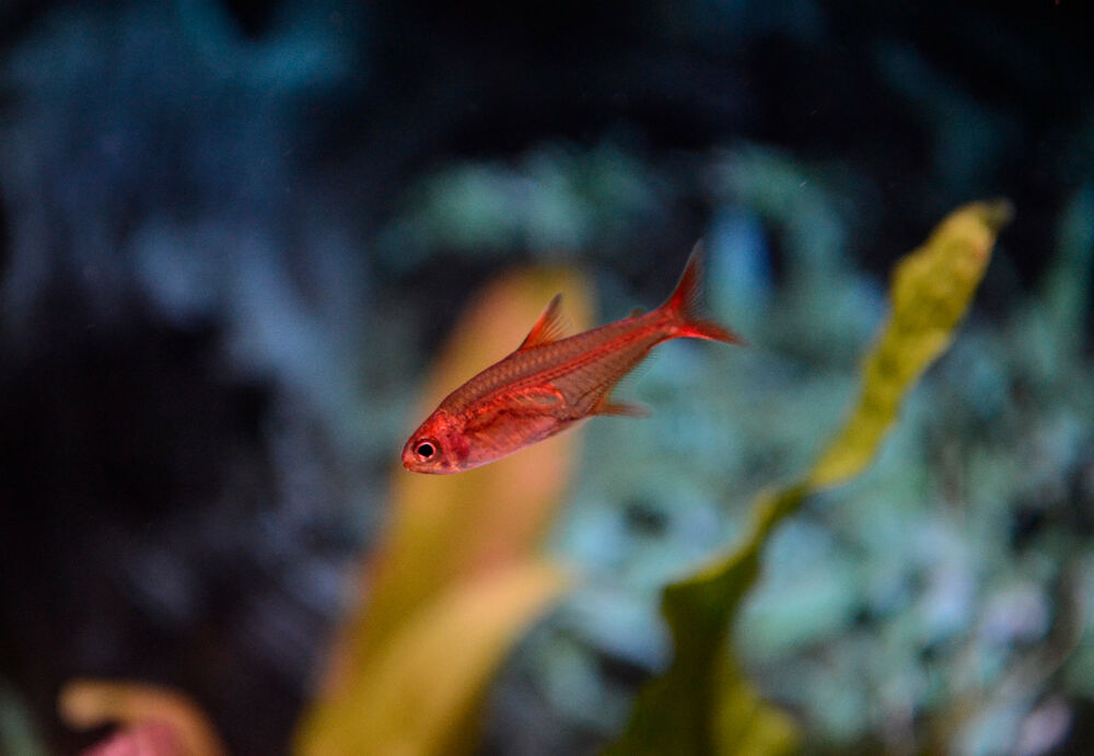 Live beginner freshwater fish 3 x 75 ember tetra for Peaceful freshwater fish