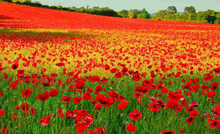 500 Red Corn Poppy Flower Seeds Papaver Rhoeas Poppy Seed Combsh A53 Ebay