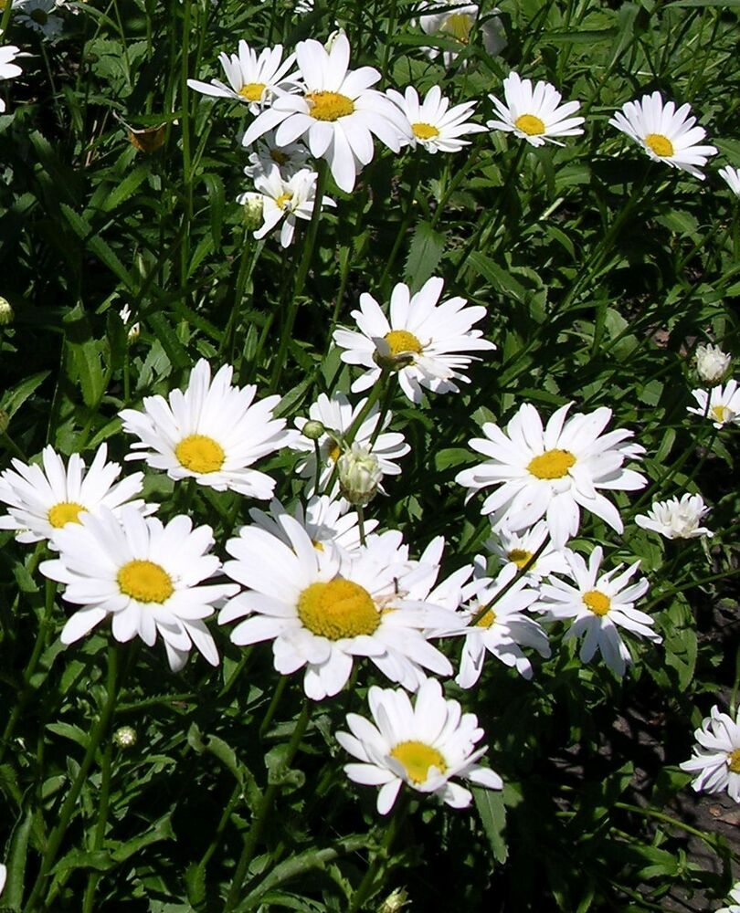 Two Ox Eye Daisy Mature Hardy Perennial Cottage Garden