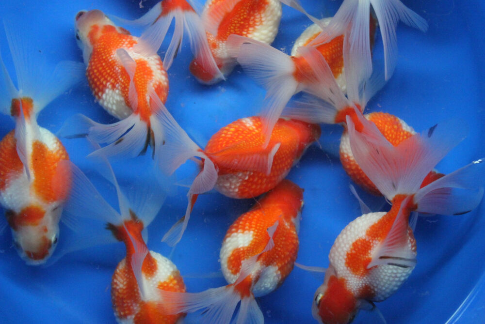 Live crown pearlscale goldfish md for fish tank koi pond for Koi fish tank
