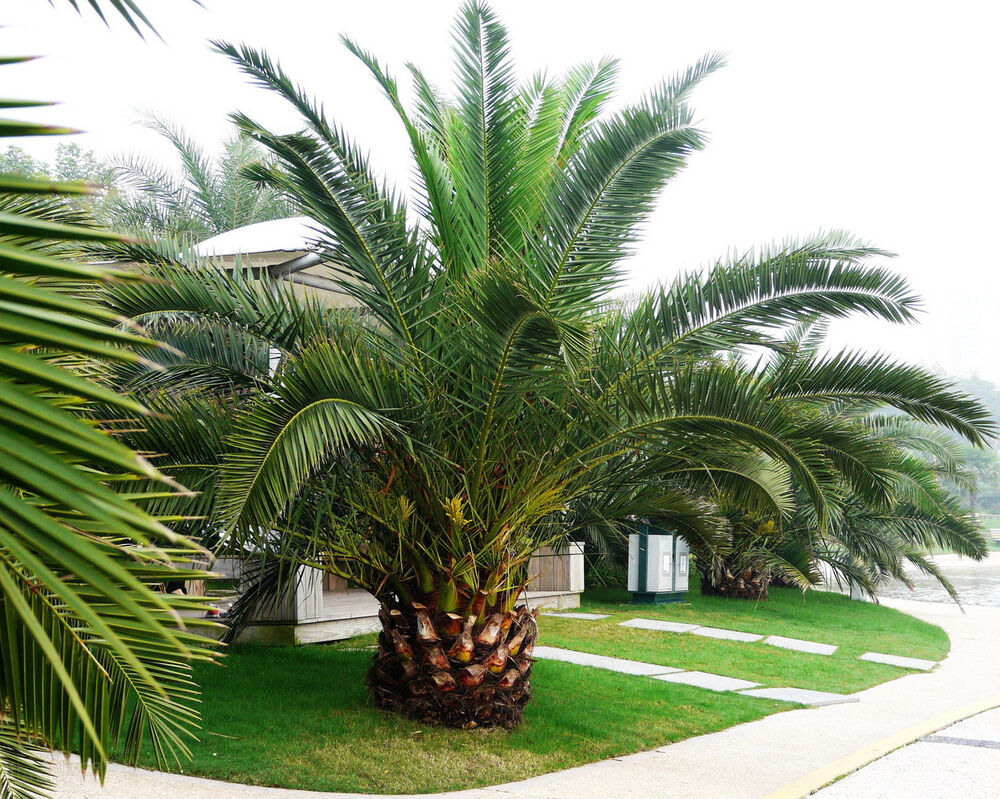 pineapple palm 5 seeds phoenix canariensis ornamental tree. Black Bedroom Furniture Sets. Home Design Ideas