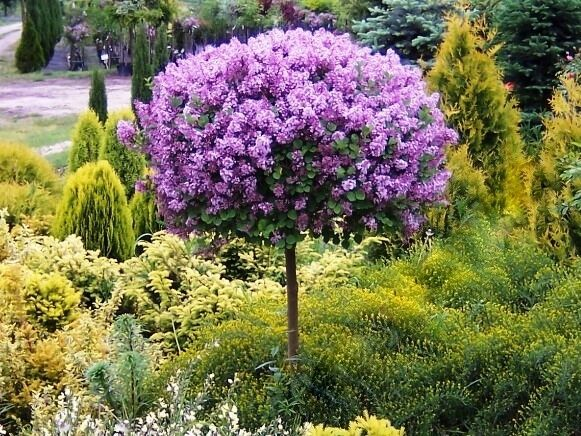dwarf lilac meyeri palibin grafted tree approx 100 cm. Black Bedroom Furniture Sets. Home Design Ideas