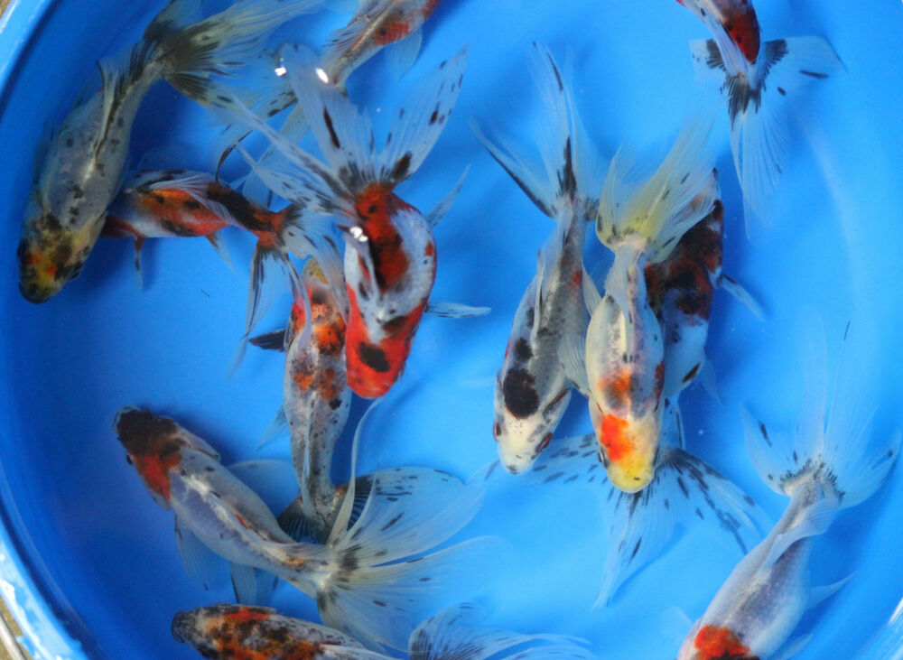 4 5 inch live calico fantail goldfish for fish tank koi for Aquarium fish for pond