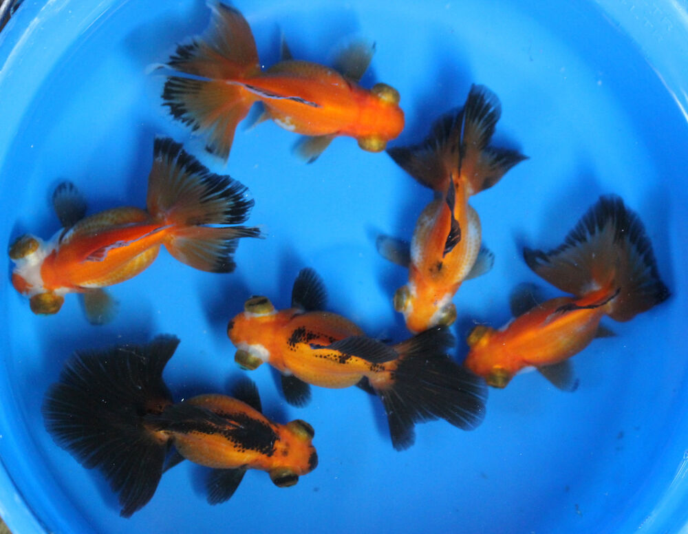 Live red black butterfly tail goldfish sm for fish tank for Live pond fish for sale