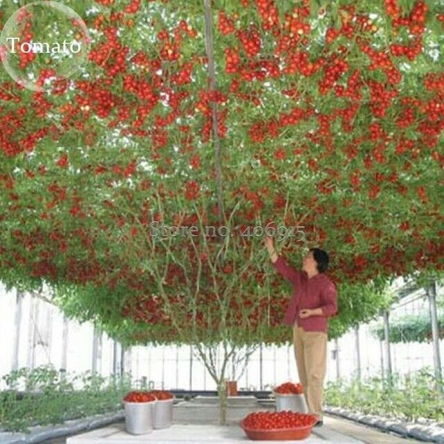 heirloom giant tomato tree 100 seeds healthy delicious. Black Bedroom Furniture Sets. Home Design Ideas