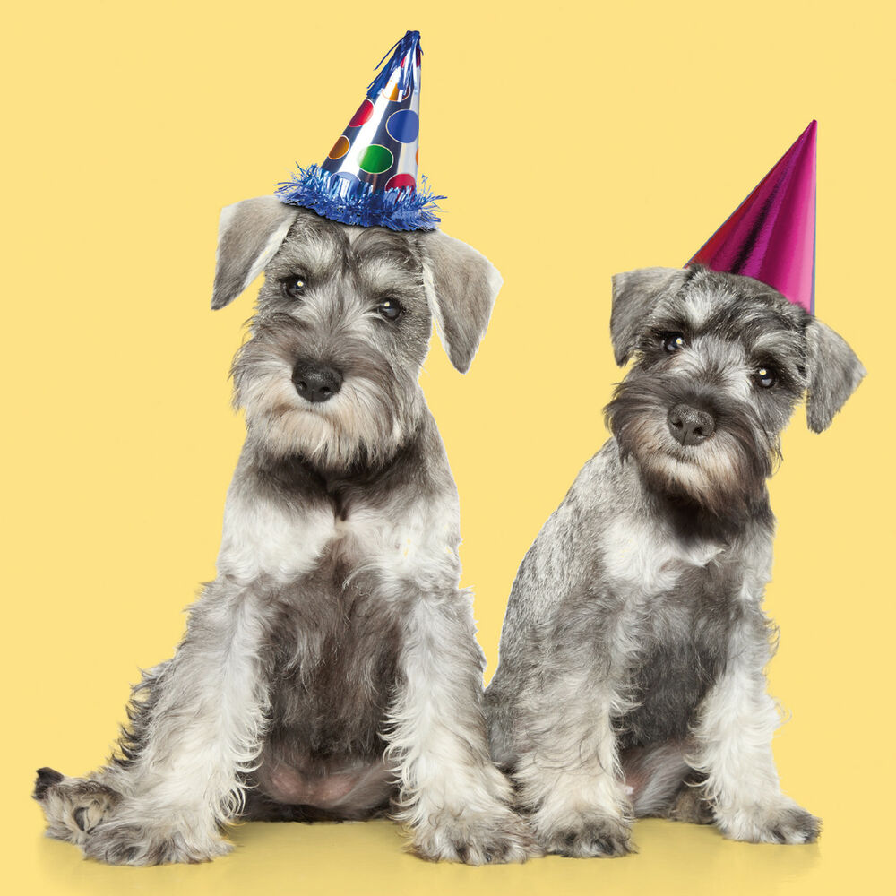 Details About Miniature Schnauzer Party Hat
