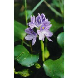 Kyпить 20 FLOATING WATER HYACINTHS (NATURE'S BIOFILTER)- Free Shipping на еВаy.соm