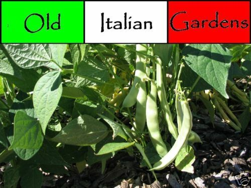 100 Roma Italian Bush Bean Seeds For Spring Garden Non Gmo