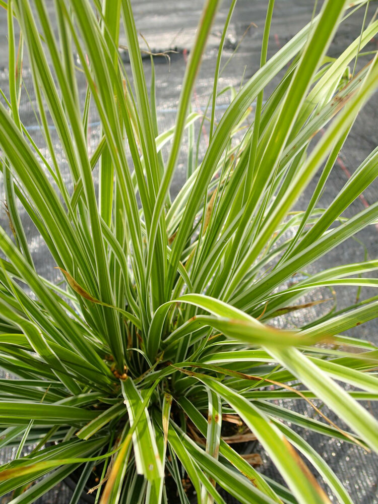 Carex everest white green striped grass 1 litre pot for White ornamental grass