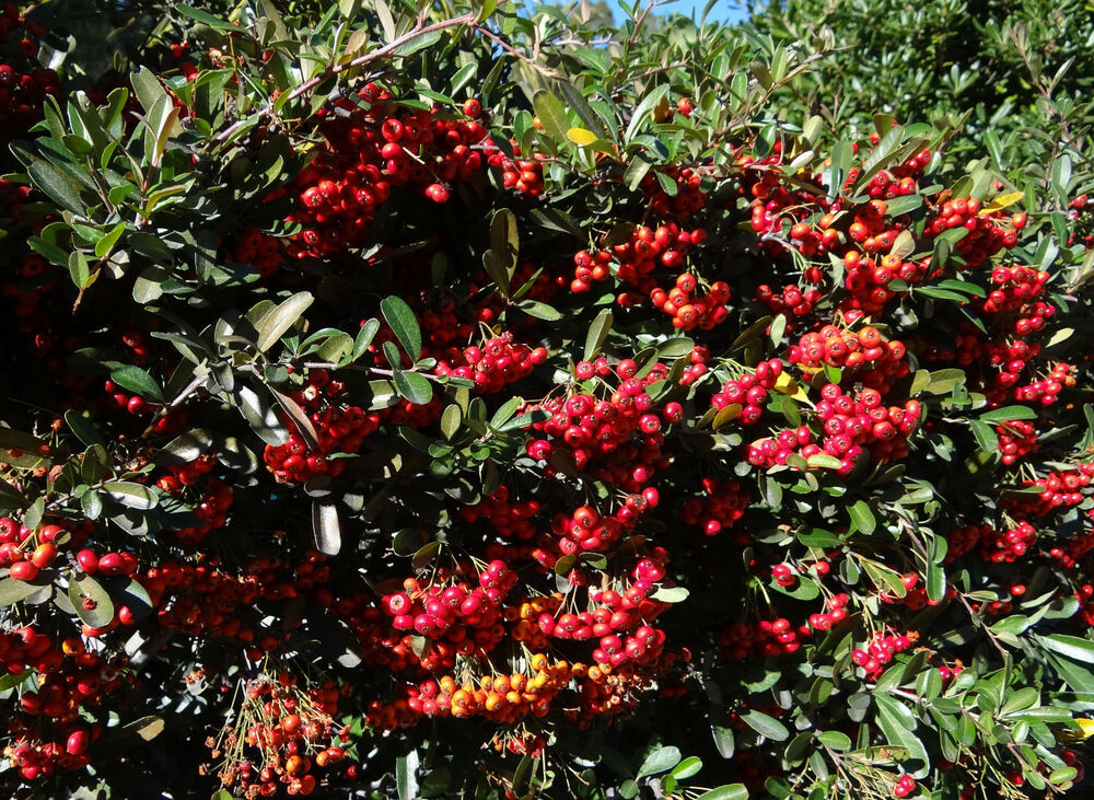 25 Red Pyracantha Seeds Scarlet Firethorn Rosaceae Red