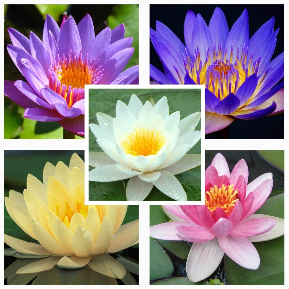 Water Lily Mix Nymphaeaceae 10 Seeds * Fresh Seeds * Not