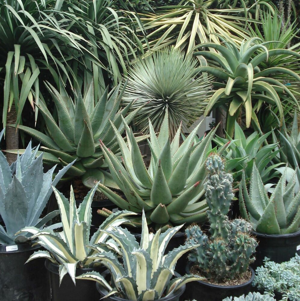 10 Agave Mix Seeds Easy Grow Care Free Succulent