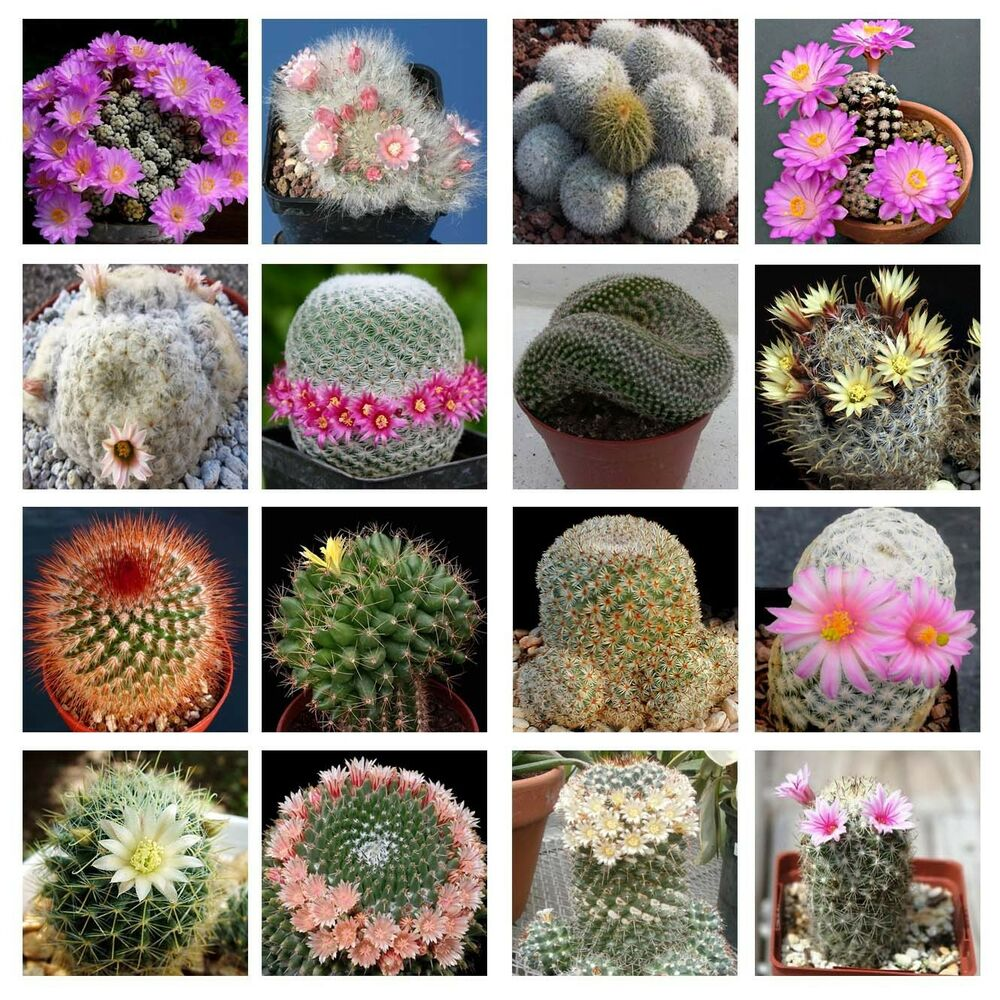 10 Mammillaria Mix Seeds *Easy Grow * Care Free * Cactus