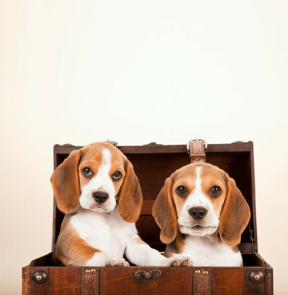 Details About New Beagle Puppies Greeting Card Dog Breed Mum Dad Birthday Cards Dogs Puppy