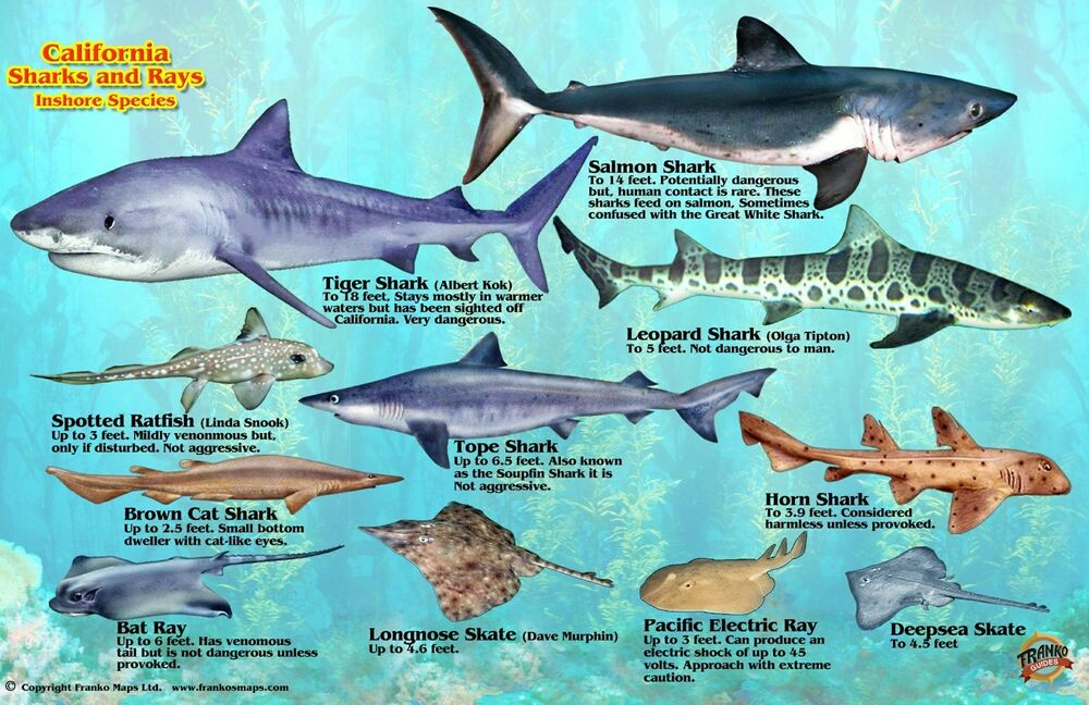 California sharks rays guide laminated fish card by for Pacific northwest fish