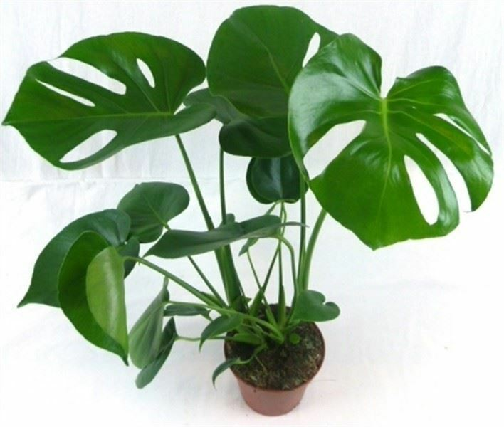 Swiss Cheese Plant (Monstera deliciosa) in 13/14cm pot. 40
